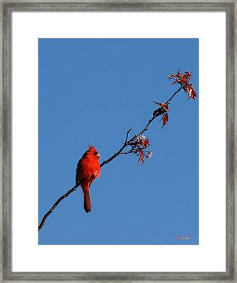 Framed Print featuring the photograph Cardinal On A Cherry Branch Dsb033 by Gerry Gantt