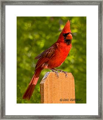 Framed Print featuring the photograph Cardinal On Fence by Don Durfee