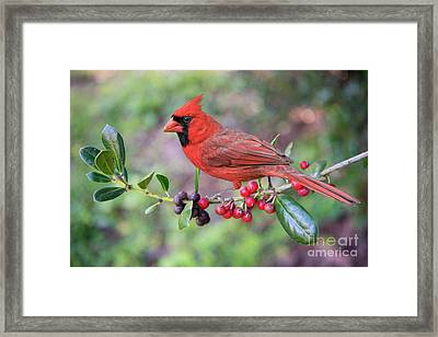 Framed Print featuring the photograph Cardinal On Holly Branch by Bonnie Barry
