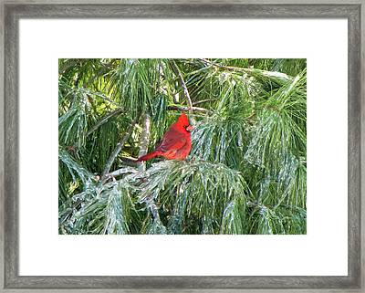 Cardinal On Ice Framed Print