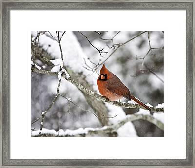 Cardinal On Snowy Branch Framed Print by Rob Travis