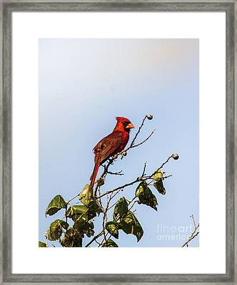 Framed Print featuring the photograph Cardinal On Treetop by Robert Frederick
