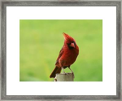 Cardinal Framed Print by ShadowWalker RavenEyes Dibler