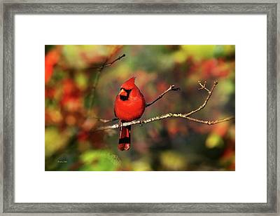 Cardinal Territory Framed Print by Christina Rollo