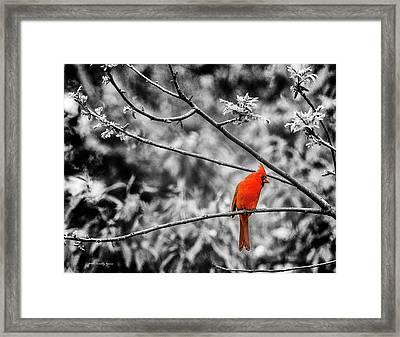 Cardinal... Framed Print