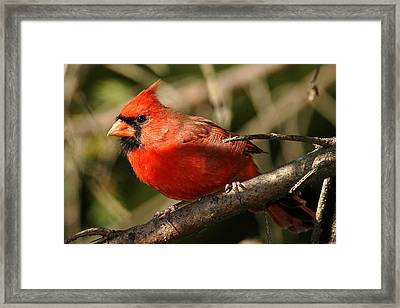 Cardinal Up Close Framed Print by Alan Lenk