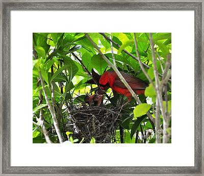 Cardinals Chowtime Framed Print