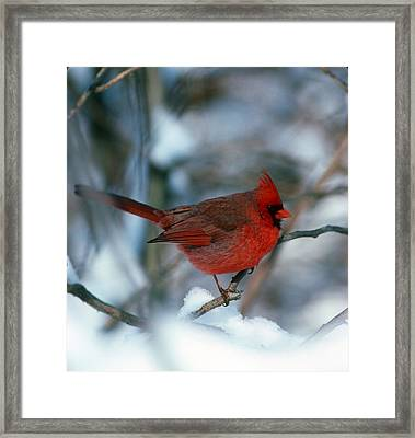 Cardnal In The Snow # 2 Framed Print