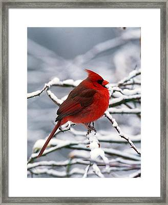 Cardnal In The Snow #2 Framed Print