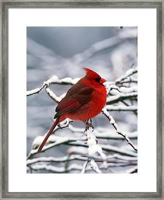 Cardnal Framed Print