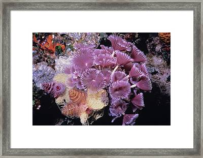 Caribbean Christmas Trees Framed Print