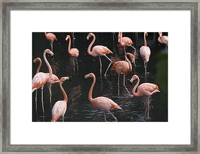Caribbean Flamingoes At The Sedgwick Framed Print by Joel Sartore