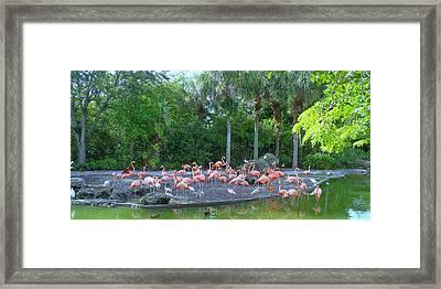 Caribbean Flamingos Framed Print by Tammy Chesney