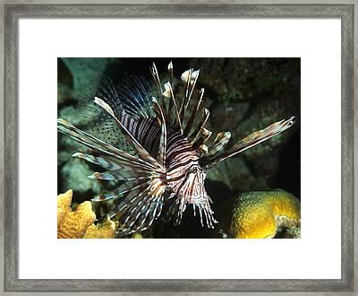 Caribbean Lion Fish Framed Print by Amy McDaniel