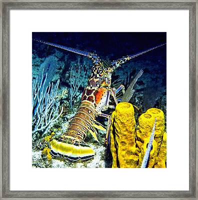 Caribbean Reef Lobster Framed Print by Amy McDaniel