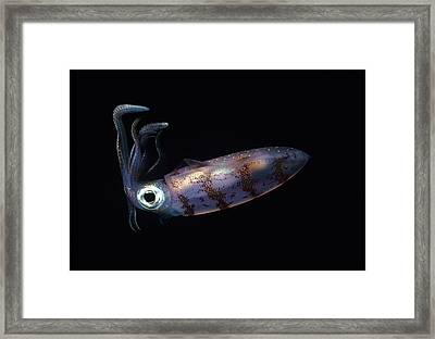 Caribbean Reef Squid At Night Framed Print by Don Kreuter