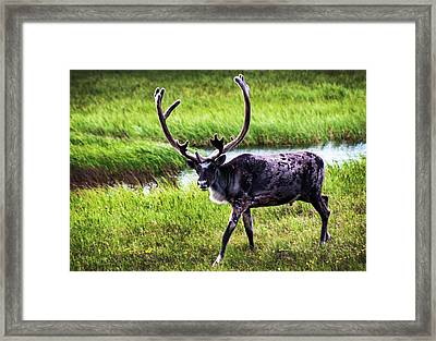 Framed Print featuring the photograph Caribou by Anthony Jones