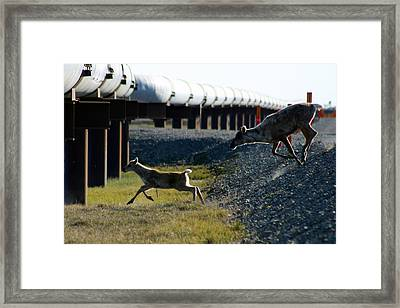 Caribou Cow And Fawn Framed Print by Anthony Jones