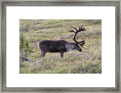 Caribou Grazing Framed Print by David Wilkinson