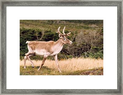 Caribou Framed Print by Mary Mikawoz
