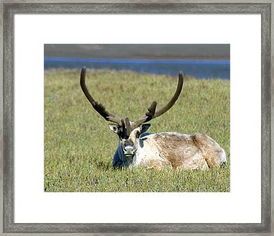 Caribou Resting In Tundra Grass Framed Print by Anthony Jones