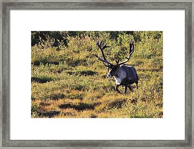 Caribou Running Framed Print by David Wilkinson