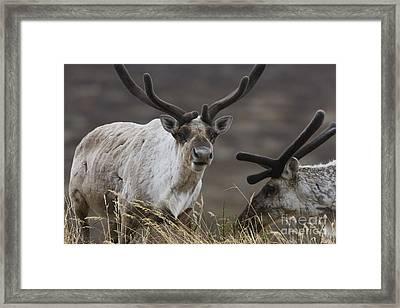 Caribou Framed Print by Tim Grams