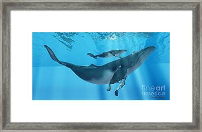 Caring Mother Humpback Framed Print by Corey Ford