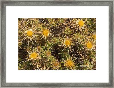 Carline Thistle Framed Print