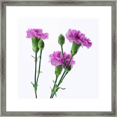 Carnations Three Lavender Framed Print