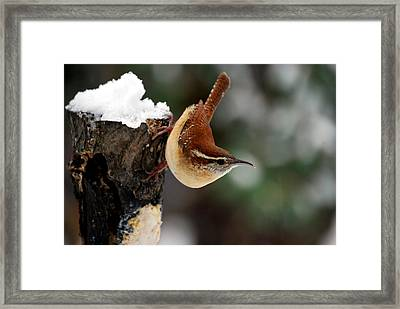 Carolina At The Suet Post Framed Print by Skip Willits
