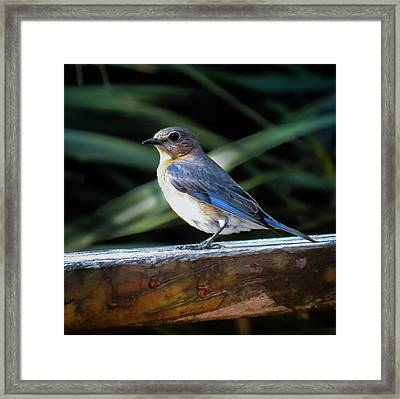 Carolina Bluebird Female Framed Print by Karen Wiles