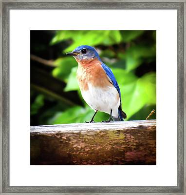Carolina Bluebird Male Framed Print by Karen Wiles