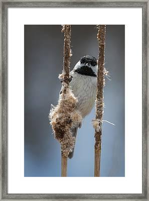 Carolina Chickadee On Cattails Framed Print