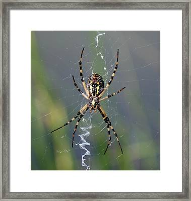Carolina Garden Spider Framed Print by Bruce W Krucke