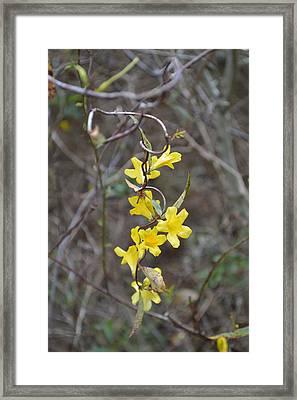 Carolina Jasmine Gelsemium Sempervirens Framed Print by RD Erickson