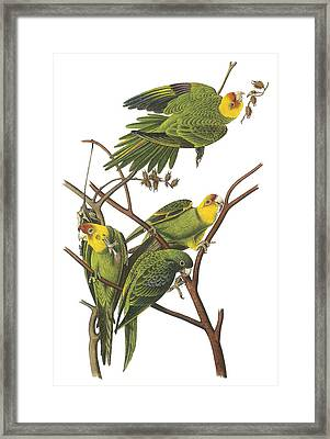 Carolina Parakeet Framed Print by John James Audubon