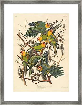 Carolina Parrot Framed Print by Rob Dreyer