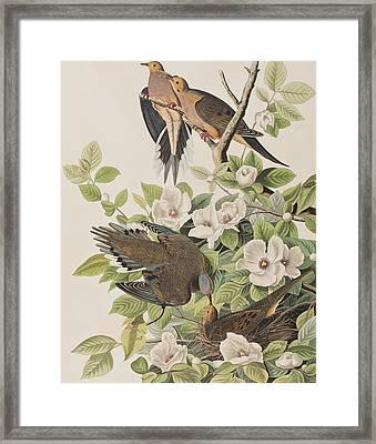 Carolina Turtle Dove Framed Print