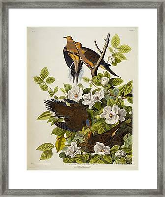 Carolina Turtledove Framed Print by John James Audubon