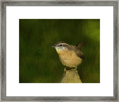 Carolina Wren Framed Print by Steven Richardson