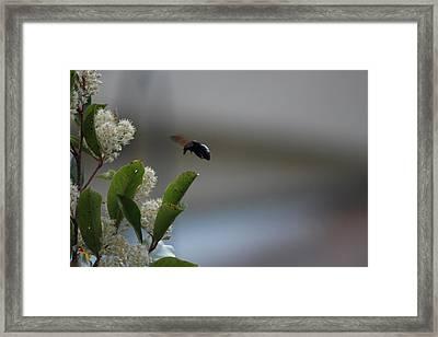 Carpenter Bee Landing Framed Print by Colleen Cornelius