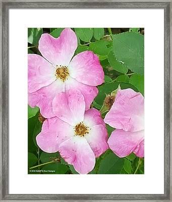 Carpet Roses Framed Print