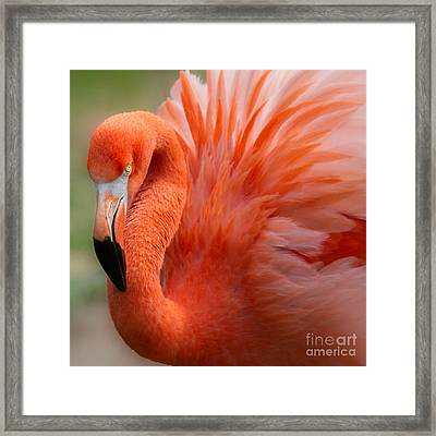 Caribbean Flamingo Framed Print by Chris Scroggins