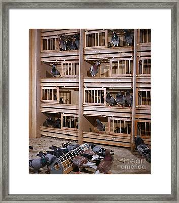 Carrier Pigeons Framed Print by Gerhard Schlepphorst