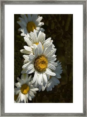 Cascading Daisy Framed Print by Elsa Marie Santoro