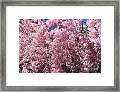 Cascading Pink Blossoms In Springtime Framed Print by Carol Groenen