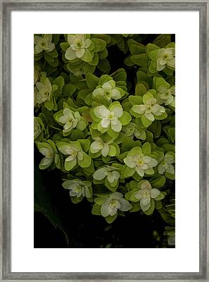 Cascading White Blossoms 2 Framed Print by Greg  Plachta