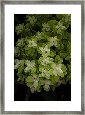 Cascading White Blossoms 3 Framed Print by Greg  Plachta