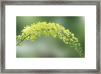 Cassia Fistula Framed Print by Art Spectrum